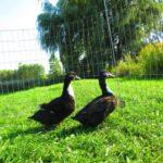 Black Swedish Ducks