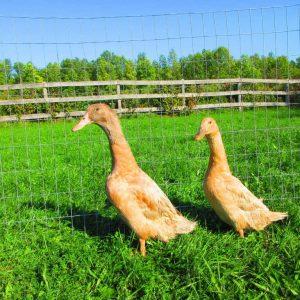 Buff Orpington Ducks