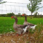 Toulouse Geese