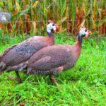Pearl Guinea Fowl