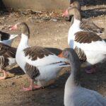 Saddleback Pomeranian Geese
