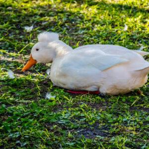 A White Crested Duck In Orlando, Florida